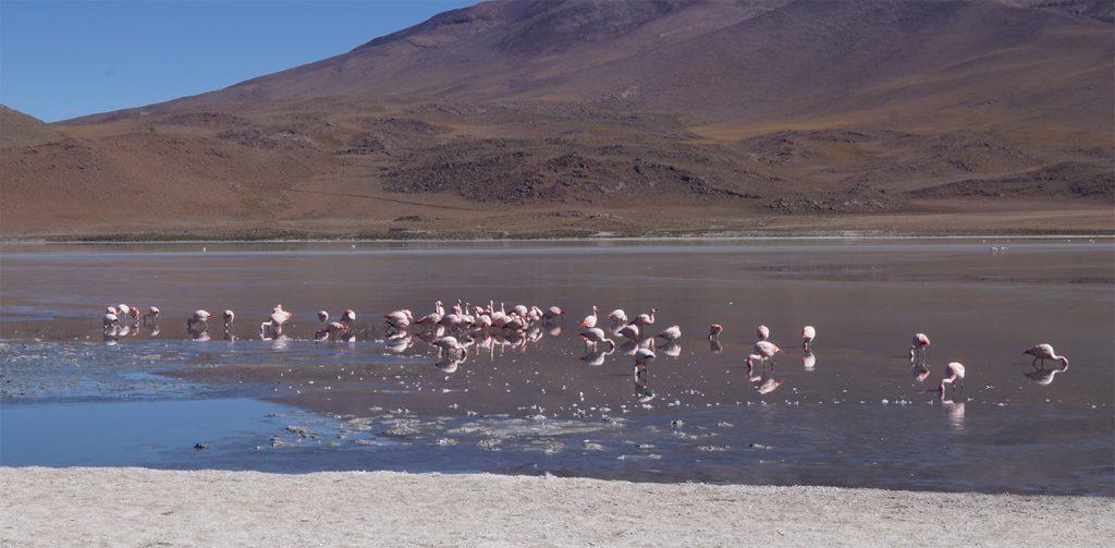 Laguna Colorada, Fenicotteri