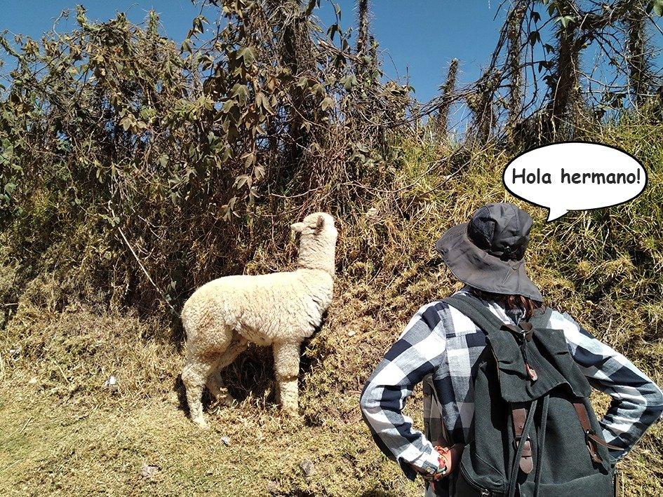 Lama Cusco